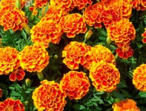 marigold sparky flower