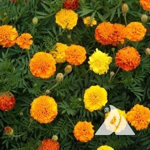 marigold french petite flower