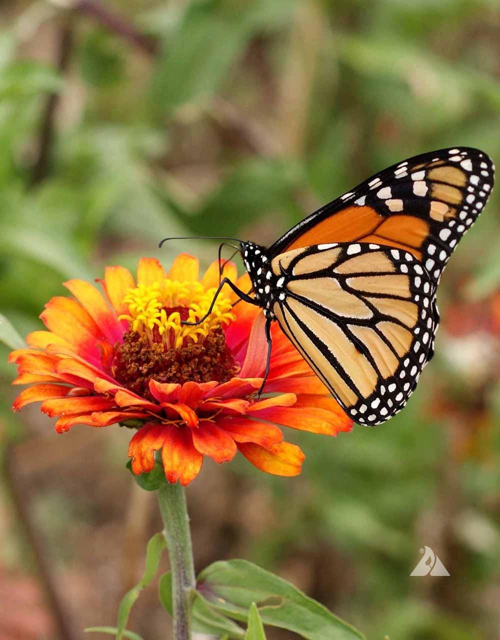 Monarch Butterfly Garden Mixture